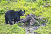 A black bear while eating a donut — Stok fotoğraf