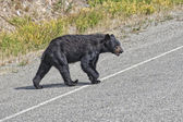 Um urso preto atravessando a rua no alasca britsh columbia — Foto Stock