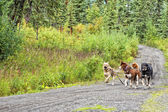 Sled dog while training in summer — Stok fotoğraf