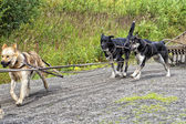 Sled dog while training in summer — Zdjęcie stockowe