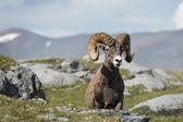 ビッグホーン羊の肖像画を見ながら — ストック写真