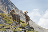 Big Horn Sheep portrait while walking on the mountain edge — Stock Photo