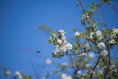Cherry flowers with insect flying — Stock Photo