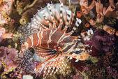 蝎子狮子鱼的肖像 — 图库照片