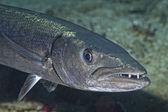 Barracuda Fish underwater — Stock Photo