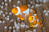 Clown fish while looking at you from anemone — Stockfoto