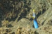 Retrato de mooray de enguia amarela e azul — Foto Stock