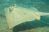 Blue Spotted ray close up eyes detail in Sipadan, Borneo, Malaysia — Stock Photo
