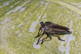 Tropical fly mosquito — Stock Photo