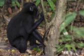 Хохлатый черный макак, глядя на вас в лесу — Стоковое фото