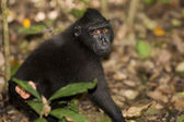 Crested black macaque while looking at you in the forest — Stockfoto