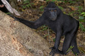 Crested black macaque while looking at you in the forest — Foto de Stock