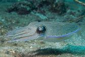 Sualtı squid mürekkep balığı — Stok fotoğraf