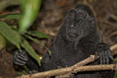 Crested black macaque while looking at you in the forest — ストック写真