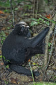 Crested black macaque while looking at you in the forest — Zdjęcie stockowe