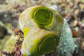 Green Ascidian hard coral detail — Stock Photo