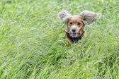 Ritratto di cucciolo cane cocker spaniel — Foto Stock