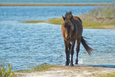 Assateague horse wild pony — Stock Photo