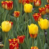 Tulips blossom — Stock Photo