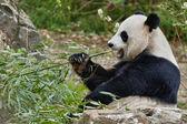 Giant panda while eating bamboo — Stock Photo