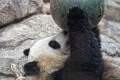 Giant panda while playing with a ball — 图库照片