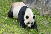 Giant panda while eating bamboo — Photo