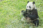 Giant panda while eating bamboo — 图库照片