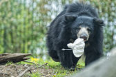 Sloth black asian bear — Stock Photo