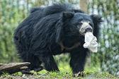 Sloth black asian bear — Stock Photo