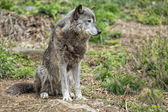 Grey wolf while looking at you — Stock Photo