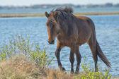 Assateague paard wilde pony — Stockfoto