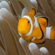 Clown fish while looking at you from anemone — Stock Photo #46251185