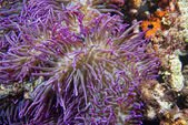 Violet anemone tentacles detail — Stock Photo