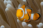Clown fish while looking at you from anemone — Stock Photo