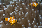 Clown fish while looking at you from anemone — Zdjęcie stockowe