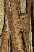Tarsius small nocturnal monkey — Stock Photo