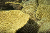 Hard coral macro detail while diving in Indonesia — Stock Photo