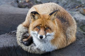 Isolated red fox close up portrait  — Stok fotoğraf