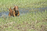 Dog Puppy cocker spaniel playing in the water — Stock Photo