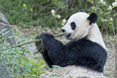 Giant panda while eating bamboo — Stock Photo