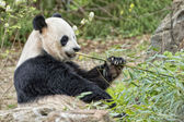 Giant panda while eating bamboo — Foto de Stock