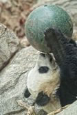 Giant panda while playing with a ball — Stok fotoğraf