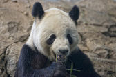Giant panda while eating bamboo — Stockfoto
