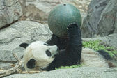 Giant panda while playing with a ball — Zdjęcie stockowe