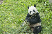 Giant panda while eating bamboo — Stok fotoğraf