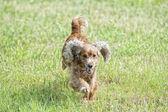 счастливый щенок, работает для вас — Стоковое фото