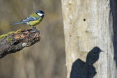 Great blue tit blue yellow and white bird — Stock Photo
