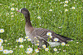 Isolated black and white goose on daisy background — Stock Photo