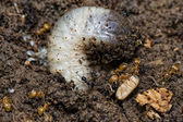 Yellow Ants inside anthill while moving eggs — Stock Photo
