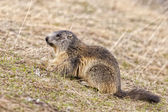 Isolated marmot portrait while looking for food — Stockfoto